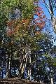 Neoshirakia japonica s6.jpg
