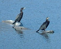 Neotropic Cormorants1.jpg
