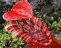 Nepenthes northiana pitcher peristome.jpg