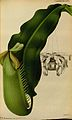 Nepenthes veitchii - L'Illustration horticole (1871).jpg