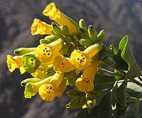 Nicotiana glauca (8694803666) .jpg