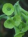 Nicotiana langsdorfii 8 (Scott Zona).jpg