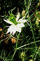 Nigella damascena-white.jpg