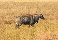 Nilgai in Blackbuck National Park 01.jpg