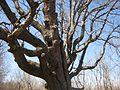 North American white oak, bur oak.JPG