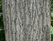 Northern Red Oak (Quercus rubra) bark detail.jpg