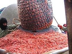 Capture de crevettes nordiques, sur un bateau de pêche.