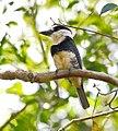 Notharchus macrorhynchos - Guianan Puffbird.JPG