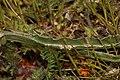 Nothocalais troximoides 3286.JPG