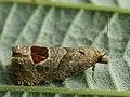 Notocelia uddmanniana - Bramble shoot moth - Листовёртка малинная (40383636625).jpg