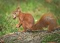 Nutty squirrel (37211166430).jpg
