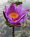 Nymphaea capensis .jpg