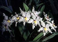 Odontoglossum crispum Orchi 05