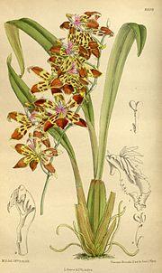Odontoglossum cristatum 145-8809