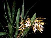 Odontoglossum tenue Orchi 01.jpg