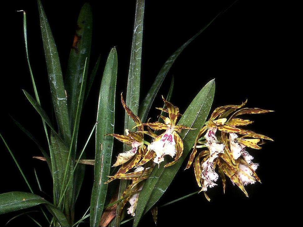 Odontoglossum tenue Orchi 01