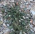 Oenothera cavernae 4.jpg