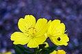 Oenothera fruticosa 5.jpg