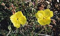 Oenothera magellanica.jpg
