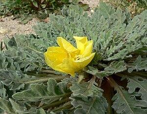 Oenothera primiveris - ssp. bufonis