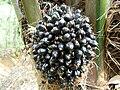 Oilpalm1.JPG