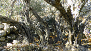 Old olive tree in Bidnija, Malta trunks