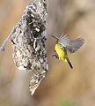 Olive-backed Sunbird - Wyvuri.jpg