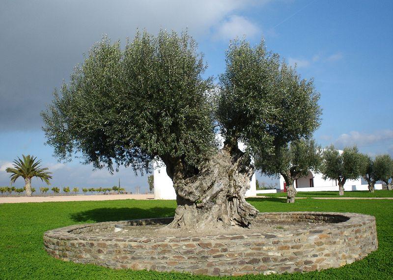 File:Olive tree.jpg