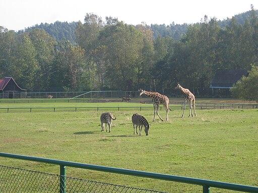 Oliwa Zoo zebry zyrafy