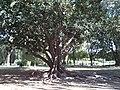 Ombú en el Parque de los Príncipes.JPG