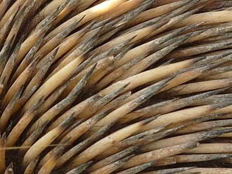 Echidna - Spines and fur of an echidna