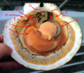 Opened scallop shell (with arrows).png
