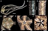 Ophiocnida hispida (zookeys.406.6306) 01.jpg