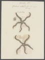 Ophiura ciliaris - - Print - Iconographia Zoologica - Special Collections University of Amsterdam - UBAINV0274 108 16 0004.tif