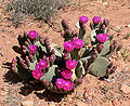Opuntia basilaris 8.jpg
