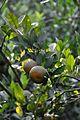 Orange - Murshidabad 2014-11-29 0198.JPG