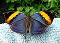 Orange Oakleaf. Kallima inachus - Flickr - gailhampshire (1).jpg