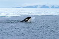 Orca with iceball cropped.JPG