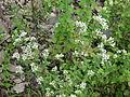 Origanum vulgare India.JPG