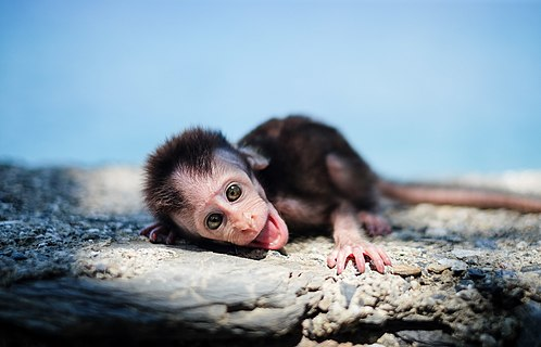 Orphaned baby monkey in Liquiçá, East Timor, whose mother had been shot and killed the day before.