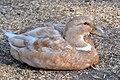Orpington Duck 2014-10-20 001.jpg