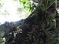 Orquideas em plena selva virgem na amazonia rio itaquaí - panoramio.jpg