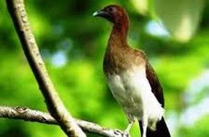 Endemic birds of Colombia - Image: Ortalis garrula