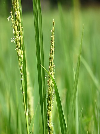 Rice - Oryza sativa with small wind-pollinated flowers