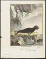 Otaria pussilla - 1700-1880 - Print - Iconographia Zoologica - Special Collections University of Amsterdam - UBA01 IZ21100057.tif