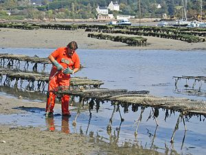 Oyster culture in France