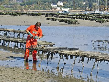 Working on oysters at Belon, Brittany, France