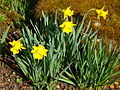 P1130466 Narcissus obvalaris (Amaryllidaceae).JPG