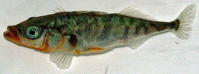 Pichľavka siná (Gasterosteus aculeatus)
