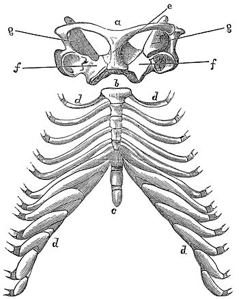 PSM V17 D791 Shoulder and rib cage of the echidna.jpg